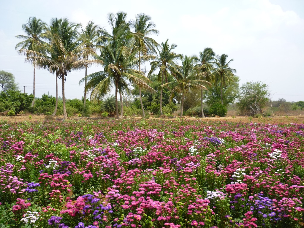 Asters horticulture farm