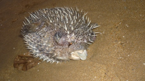 A dead pufferfish along the beach