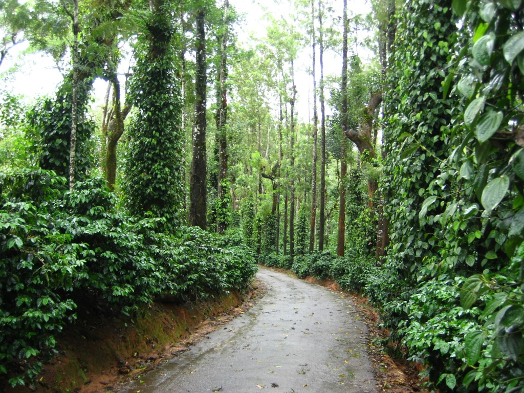 Take a cozy walk through the rain soaked plantations in Coorg