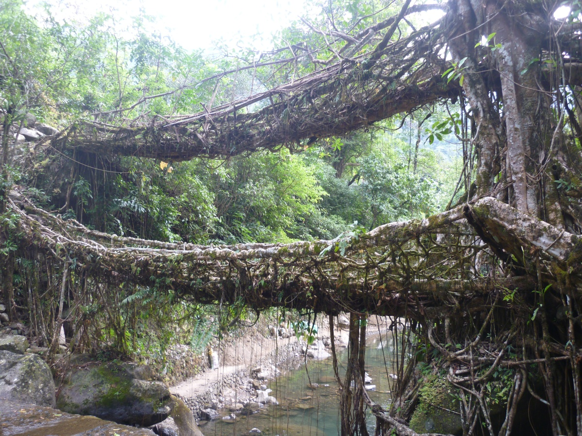Treading the living root bridges- Nongriat