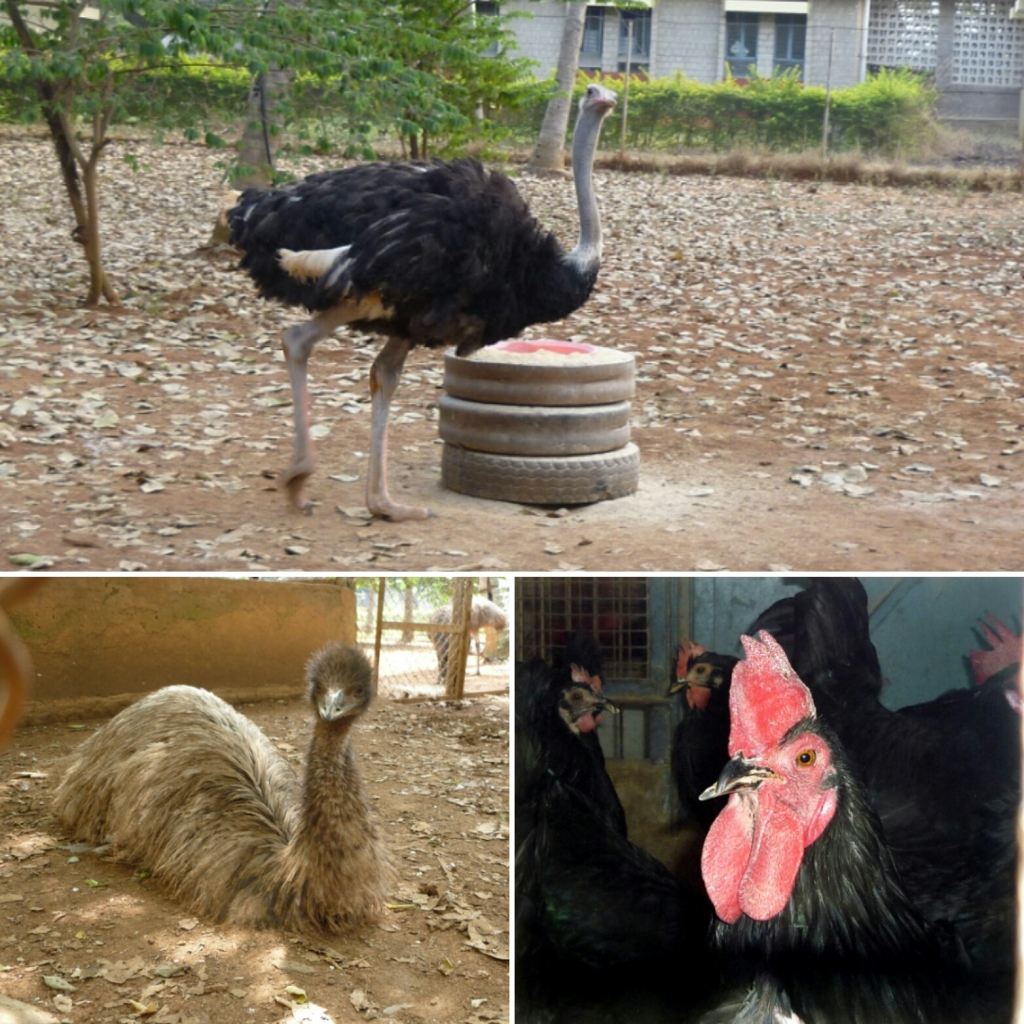 Birds at the poultry farm at Hesaraghatta
