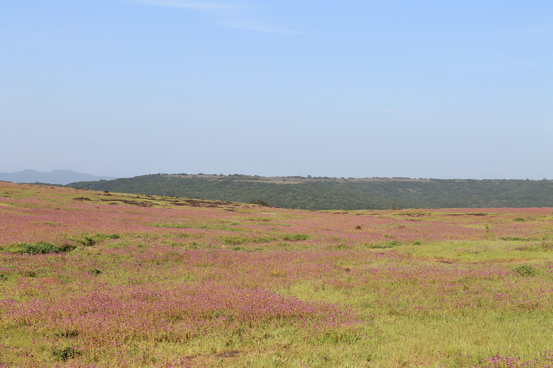 The Pink balsam carpet at Khas valley