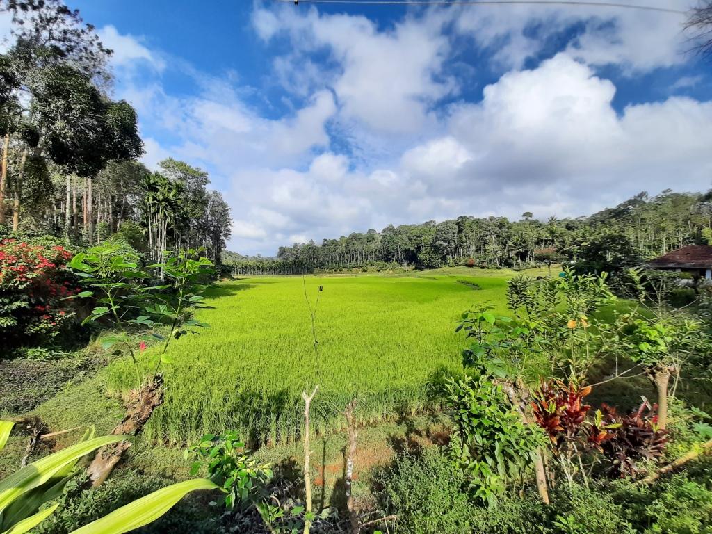 Paddy and coffee plantation in Kodagu