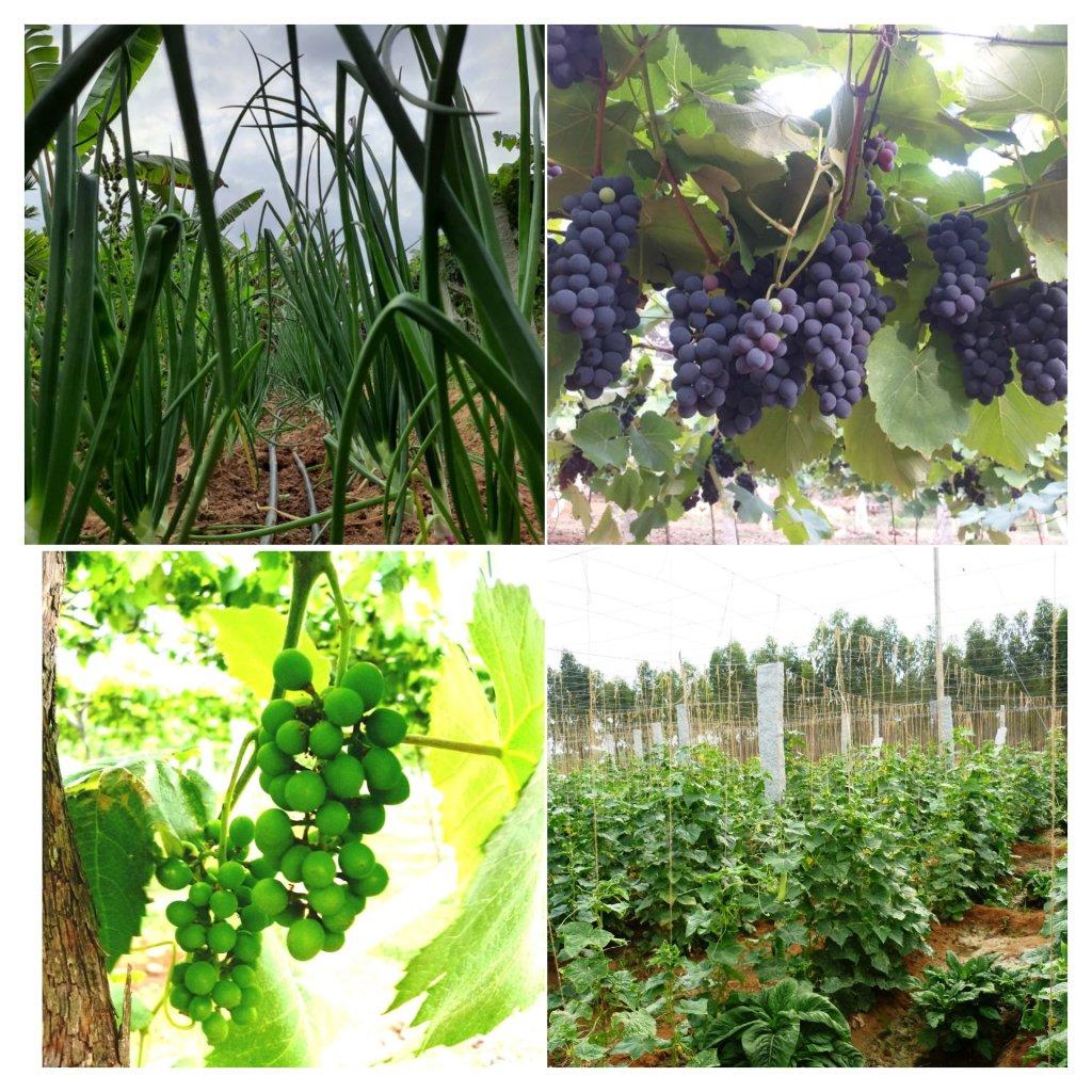 Grapes vineyard visit